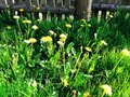 Yellow dandelions and old wooden fence Royalty Free Stock Photo