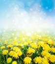 Yellow dandelions. Royalty Free Stock Photo