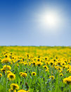 Yellow dandelions under bly sky Royalty Free Stock Photography