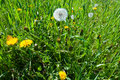 Yellow dandelions and white blowball Stock Photography