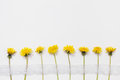 Yellow dandelions with a white ribbon on a white background, yellow summer flowers Royalty Free Stock Photo
