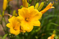 Yellow Day Lily Royalty Free Stock Photo