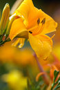 Yellow day lily after rain blossom Royalty Free Stock Photos