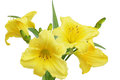 Yellow Daylilies Flower Royalty Free Stock Photo