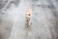Yellow dog walking on thin ice in wintertime Royalty Free Stock Photo