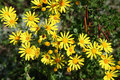 Yellow doronicum flowers Stock Photography