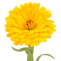 Yellow Double Calendula Flower on White Background Royalty Free Stock Photo