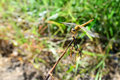 Yellow Dragonfly On The Stick