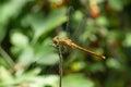 Yellow dragonfly Sympetrum flaveolum with blood-sucking larvae of ticks-ticks Trombidiidae, Erythraeidae Royalty Free Stock Photo