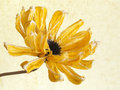 Yellow dry flower on abstract background Stock Photo
