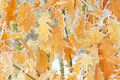The yellow dry leaves covered with hoarfrost on tree branches Royalty Free Stock Image