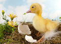 Yellow duckling and flowers easter scene with Stock Image