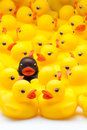 Yellow ducks of gum and one black Royalty Free Stock Images