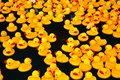 Yellow ducks in a pool Stock Image