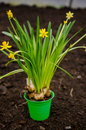 Yellow dwarf daffodils Royalty Free Stock Photo
