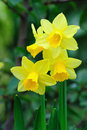 Yellow dwarf trumpet daffodils Royalty Free Stock Photo