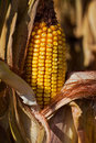 Yellow ear of corn at the end of growing season in autumn Stock Photo