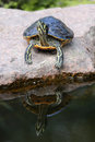 Yellow Eared Slider Royalty Free Stock Images