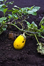 Yellow eggplant or aubergine Royalty Free Stock Photo