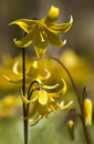 Yellow Erythronium Pagoda flowers Royalty Free Stock Photos