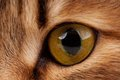Yellow eye of adult siberian cat close up Stock Image