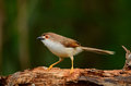 Yellow-eyed babbler Royalty Free Stock Photos