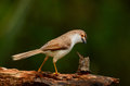 Yellow-eyed babbler Stock Photography