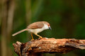 Yellow eyed babbler beautiful resting on log in forest of thailand Stock Photography