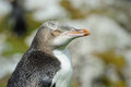 Yellow-eyed Penguin Stock Photography