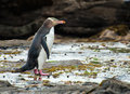 Yellow eyed penguin endagered megadyptes antipodes seen on rocks at curio bay south island new zealand Royalty Free Stock Photo
