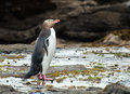 Yellow eyed penguin endagered megadyptes antipodes seen on rocks at curio bay south island new zealand Royalty Free Stock Image