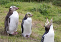 Yellow Eyed Penguin Royalty Free Stock Photo