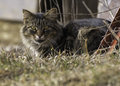 Yellow eyed tabby farm cat sitting in the grass beside the barn on a sunny day Royalty Free Stock Photos