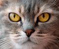 Yellow eyes cat portrait close up serious look Royalty Free Stock Photo