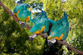 yellow för macaw för ararauna för 3 ara blå Arkivfoto