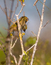 Yellow faced grassquit on a tree tiaris olivaceus sits branch while singing it s song Royalty Free Stock Photography