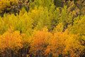 Yellow fall aspen trees yukon boreal forest taiga colorful golden autumn populus tremuloides of in the territory canada Stock Photos