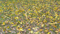 Yellow fall leaves large leaved banyan of Royalty Free Stock Image