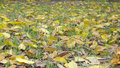 Yellow fall leaves large leaved banyan of Stock Photos