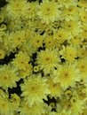 Yellow fall mums colorful chrysanthemums for autumn decorations Stock Photos