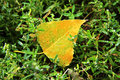 Yellow fallen leaf laying in the wet green grass Royalty Free Stock Photo