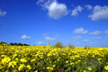 Yellow field Royalty Free Stock Images