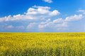 Yellow field on the background of blue sky blooming against with clouds Royalty Free Stock Photo