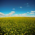 Yellow field on a blue sky Stock Photos