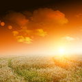 Yellow field with blue sky Royalty Free Stock Photo