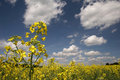 Yellow field and the blue sky Royalty Free Stock Photography