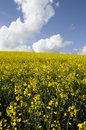 Yellow field of colza flower Stock Photos