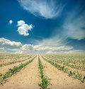 Yellow field of green corn sprouts over blue sky with clouds Stock Photos