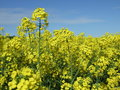 Yellow field of growing rape with blue sky in the distance Royalty Free Stock Photos