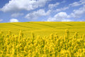 Yellow field with oil seed Royalty Free Stock Photo